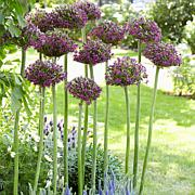 Allium Magic Set of 3 Bulbs