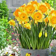 Daffodils Ferris Wheel Set of 5 Bulbs