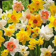 Daffodils Kitchen Sink Mixture Set of 15 Bulbs