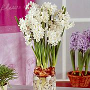 Large Paperwhites Set of 12 Bulbs