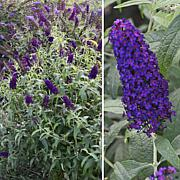 Leaf & Petal Designs 1-piece Dark Dynasty Butterfly Bush