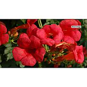 Leaf & Petal Designs 1-piece Hot Lips Campsis Vine