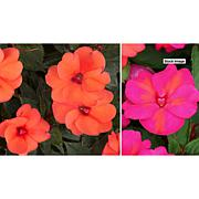 Leaf & Petal Designs 4-pc Northern Lights Sun-Standing Impatiens Set