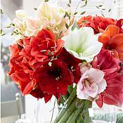 VanZyverden Amaryllis Economy Mixed 5-piece Bulb Set