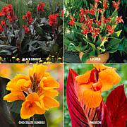 VanZyverden Cannas 4 Varieties 24-piece Bulb Set