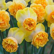 VanZyverden Daffodils Art Perfume 8-piece Bulb Set