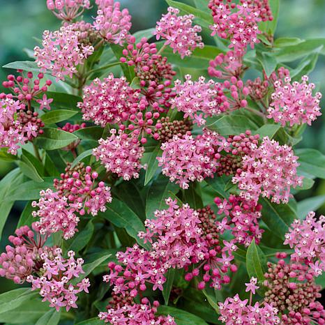"""Cinderella Asclepias """"Support The Monarchs"""" - Set of 3 Roots"""