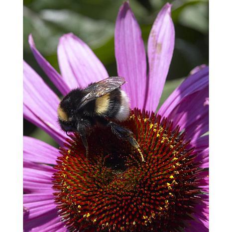 Coneflowers Bumble Bee Pollinator Set of 5 Roots