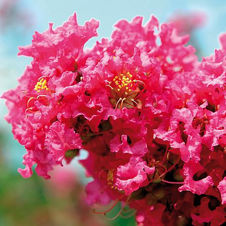 Crape Myrtle Pink Set of 1 Root Stock