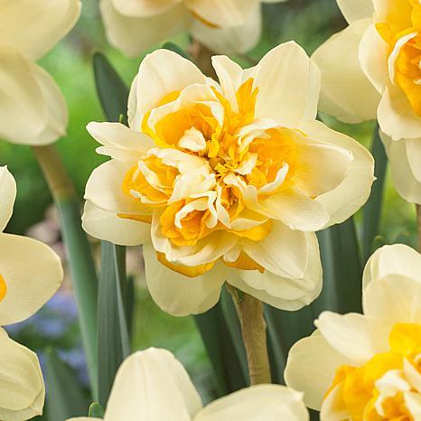 Daffodils Peach Cobbler Set of 12 Bulbs
