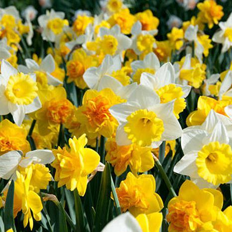 Daffodils Sunny Side Up Blend Set of 100 Bulbs Landscape Job Lot