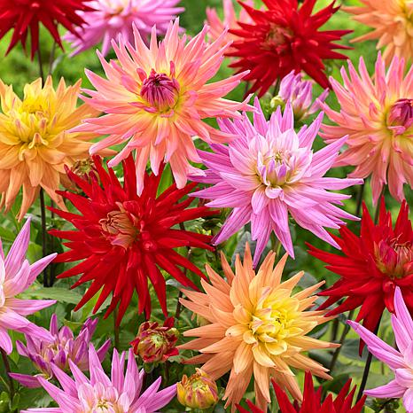 Dahlias Karma Corona Mixture Set of 7 Bulbs
