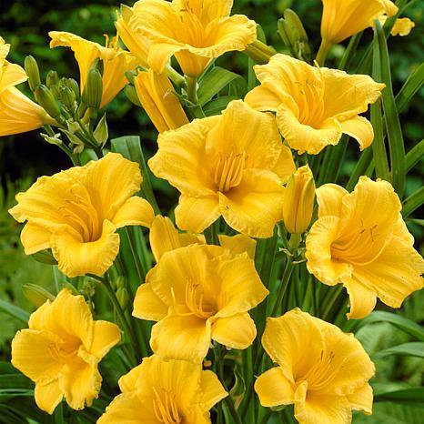 Daylilies ReBlooming Stella de' Oro Set of 5 Roots
