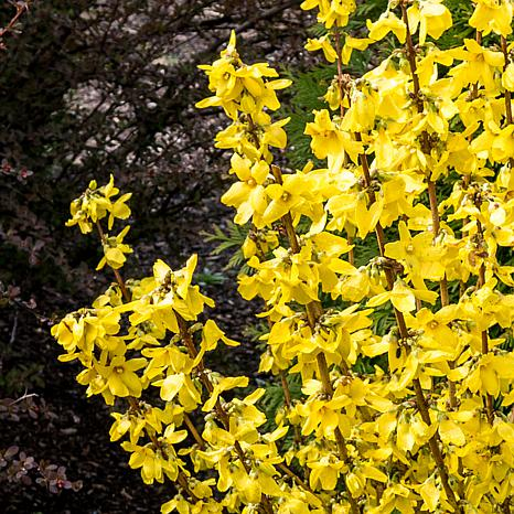 "Forsythia Magical® Gold 4"" Potted Rocketliners®"