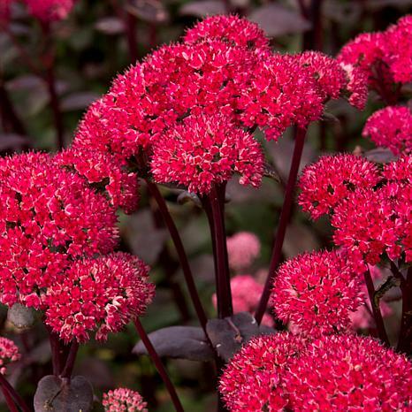 Garden Succulent Sedum Red Cauliflower Set of 3 Roots