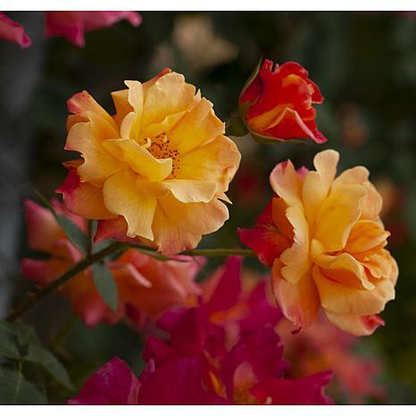 """Joseph's Coat"" Climbing Rose Root Stock"