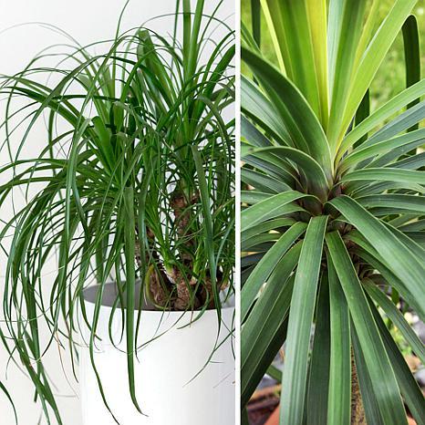 Leaf & Petal Designs 1-piece Ponytail Palm
