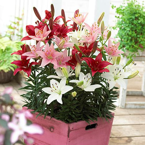 Lilies Sorbet Patio Container Blend Set of 7 Bulbs