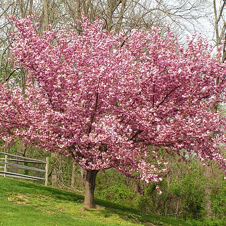 Ornamental Tree Cherry Kwanzan 1 Root Stock