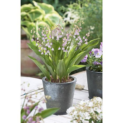 Pink Lily Of The Valley Set of 6 Roots