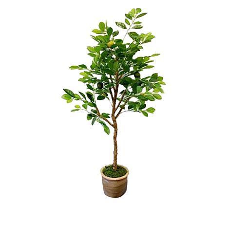 South Street Loft 4' Lemon Tree in a Terracotta Pot