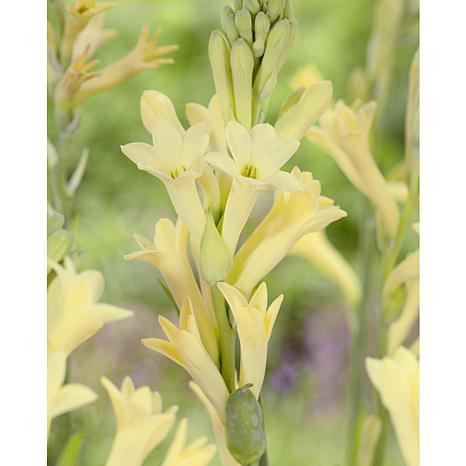 Tuberroses Single Blooming Yellow Set of 3 Bulbs