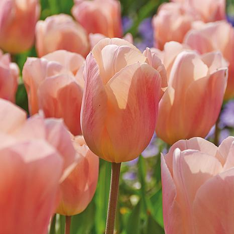 Tulips Apricot Beauty Set of 12 Bulbs