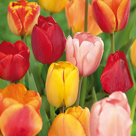 Tulips Darwin Hybrid Mixture Set of 15 Mammoth Bulbs