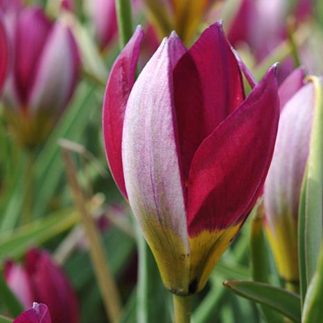 Tulips Persian Pearl Set of 25 Bulbs