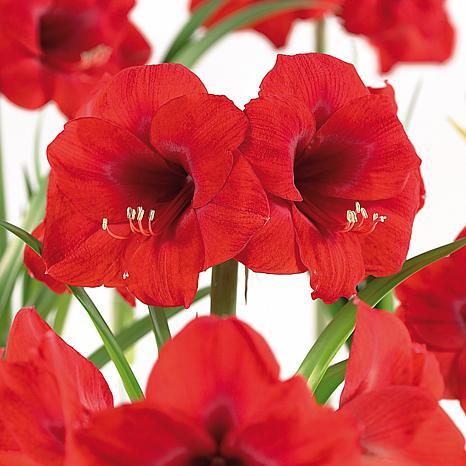 VanZyverden Amaryllis & Paperwhite 13-piece Indoor Garden Bulb Set