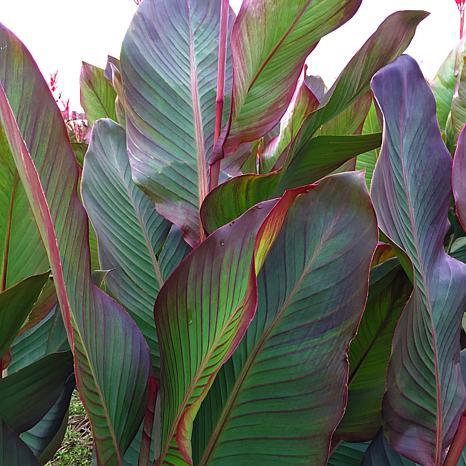 VanZyverden Giant Cannas Musifolia 5-piece Bulb Set