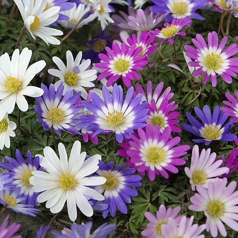 VanZyverden Wind Flowers Anemone Blanda 100pc Bulbs