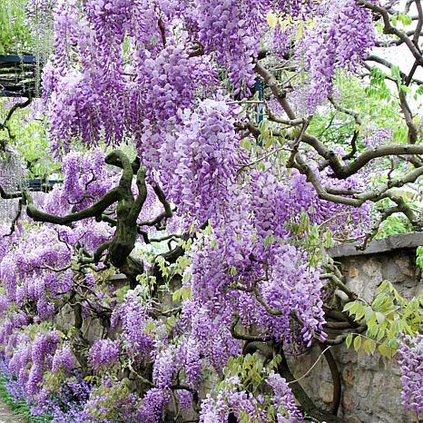 Wisteria Purple Root Stock