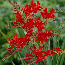 Crocosmia Lucifer Set of 25 Bulbs