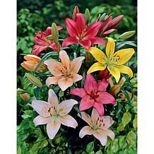 Lilies Dutch Asiatic Mixture Set of Bulbs