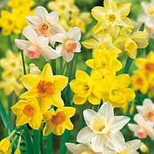 VanZyverden Daffodils Fragrant Mixture 25pc Bulb Set