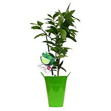 VanZyverden Persian Lime Citrus Tree with Decorative Patio Planter