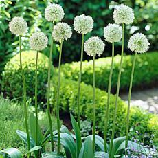 Allium Mount Everest Set of 5 Bulbs