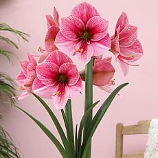 Amaryllis Purple Rain Set of 1 Bulb