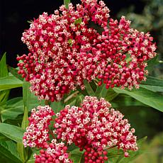 "Asclepias Incarnata Pink ""Support The Monarchs"" Set of 3 Roots"
