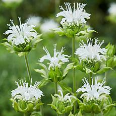 Bee Balm Ice Out Set of 5 Roots
