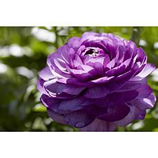 Butter Cups Ranunculus Double Purple Set of 25 Bulbs