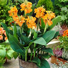 Cannas Picasso Set of 5 Bulbs