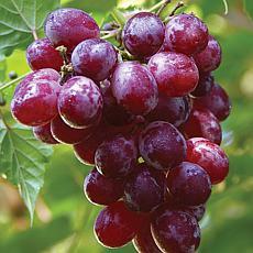 Catawba Grapes - 1 Plant