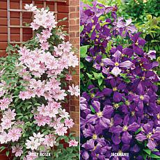 Clematis Collection 2 Varieties Set of 2 Plants