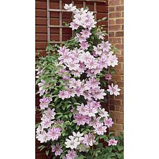 Clematis Nelly Moser Plant