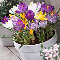 Crocus Large Flowering Blend For Containers Set of 25 Bulbs