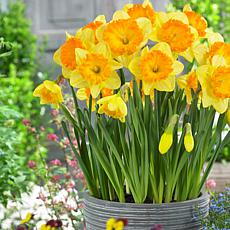 Daffodils Ferris Wheel Set of 5 Bulbs