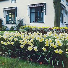 Daffodils Ice Follies Set of 12 Bulbs