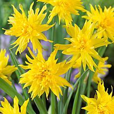 Daffodils Rip Van Winkle Set of 12 Bulbs